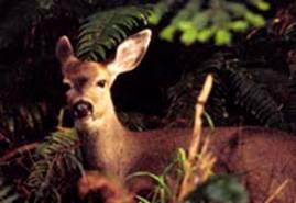 Deer listens, Hoh Rain Forest, ONP